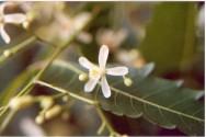 Chá de nim: erva medicinal com ótimos efeitos terapêuticos