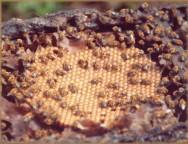 Abelhas nativas sem ferrão: mel de excelente qualidade