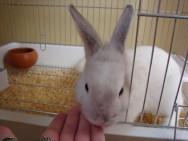 Aprenda Fácil Editora: Minicoelho É Alternativa Barata para Animal de Estimação.