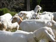 Criação de cabras leiteiras: um negócio de futuro promissor