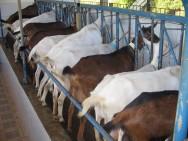 Criação de Cabras