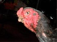 Doenças aviárias do tipo virose