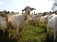 Queijo de leite de cabra