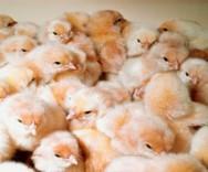 Doenças aviárias causadas por parasitoses