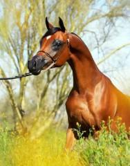 Cavalo puro sangue Árabe: um sucesso de exportação