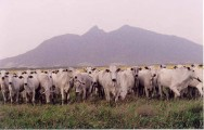 Pastoreio Voisin: um encontro da vaca com o pasto