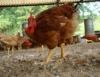 Importância do vazio sanitário nos sistemas de criação de frango de corte