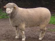 Ile de France - Características sobre essa raça de ovinos