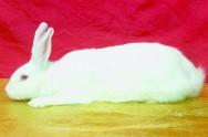 Raças de coelhos gigantes