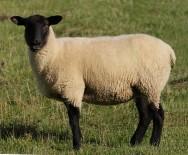 Saiba mais sobre a raça ovina Suffolk