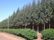 Aprenda Fácil Editora: Floresta Plantada Cresce no Brasil.