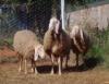 Associação Brasileira de Ovinocultura de Leite é criada