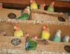 Cuidados com nutrientes para alimentação balanceada de aves exóticas