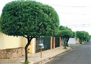Aprenda Fácil Editora: Conheça Critérios para Arborização Adequada de Calçadas
