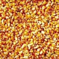 Produção do milho atinge valor de R$ 34,3 bilhões