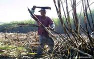 Produção de cana-de-açúcar: uma alternativa econômica para a sua fazenda