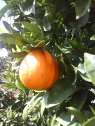 Frutas cítricas podem virar adubo natural