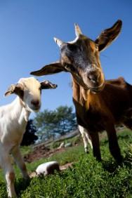 Caprinos: categorias animais e ciclo de produção
