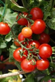 Aprenda Fácil Editora: De acordo com o IBGE, 200 mil toneladas de tomate industrial poderão ser colhidos em 2013