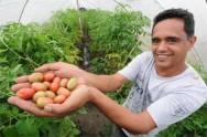Aprenda Fácil Editora: Tomate orgânico é aposta firme e lucrativa para produtor
