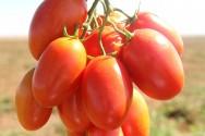 Aprenda Fácil Editora: BRS Sena, primeiro híbrido de tomate, é aposta para inserção na cadeia produtiva nacional