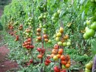 Aprenda Fácil Editora: Estiagem ajuda recuperação de lavouras de tomate