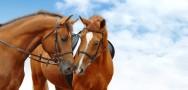 Reprodução de cavalos: comportamento da égua e regras de higiene da monta