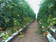 Tomate hidropônico: um cultivo em plena expansão no Brasil