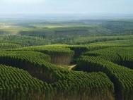 Aprenda Fácil Editora: Aplicação de fosfato pode dobrar produtividade das plantações de eucalipto