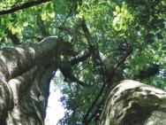 Aprenda Fácil Editora: Produção de madeira proveniente da silvicultura passa de 33 para 77% em uma década, diz IBGE