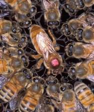 Aprenda Fácil Editora: Criação de abelhas-rainhas é estratégia para aumentar produtividade em município