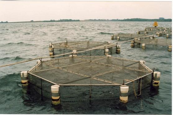 Cria o de peixes no cultivo superintensivo em tanques for Tanques para cria de tilapia