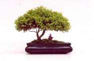 Como fazer um bonsai