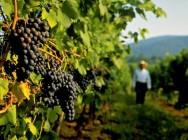 Aprenda Fácil Editora: Programas do Governo Federal foram essenciais para garantir escoamento de parte da produção vitivinícola após crise no setor