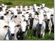 Aprenda Fácil Editora: Pecuária é a atividade que gera mais empregos verdes no país