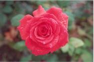 Cultivo de rosas - bons tratos culturais garantem sucesso da produção