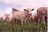 Gado bovino