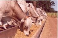 Gado de corte - uma boa nutrição aumenta o ganho de peso do boi