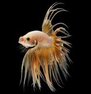Beta - um dos peixes mais comercializados no Brasil.