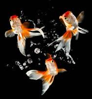 Peixes ornamentais - as espécies de água doce mais comercializadas