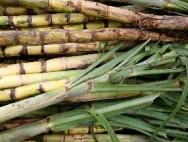 Aprenda Fácil Editora: Cana-de-açúcar é alternativa de alimentação para cabras leiteiras