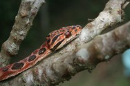 A suacuboia tem hábito arborícola, ou seja, vive acima do solo, em árvores e arbustos