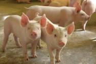 Aprenda Fácil Editora: Estados voltam a exportar carne suína e seus derivados para Uruguai