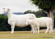 Criação de ovinos - manejo sanitário evita doenças que afetam o rebanho