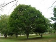 Aprenda Fácil Editora: Poda de árvores urbanas
