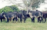 Quanto menor o período de descanso da pastagem, melhor a qualidade da forragem a ser fornecida ao gado leiteiro
