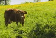 Gado de leite - a importância das forrageiras no sistema de produção a pasto