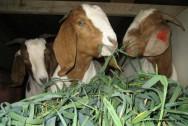 Leite de cabra - volumosos e concentrados aumentam a quantidade e a qualidade