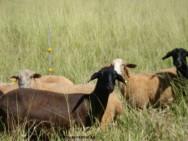 Caprinos - hábitos alimentares corretos determinam a produtividade leiteira