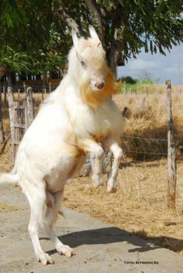 Raças de caprinos - conheça as principais raças